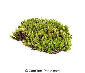 musgo, sphagnum, blanco, primer plano, verde, aislado