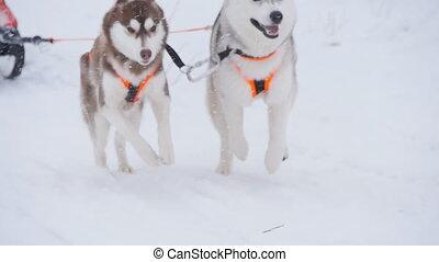 musher, verstecken, schlitten, an, schlittenhund, rennen,...