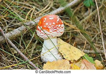 Mushroom-a fly agaric