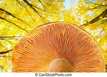 Mushroom a saffron milk cap