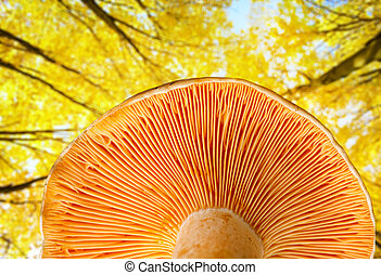 Mushroom a saffron milk cap in autumn wood