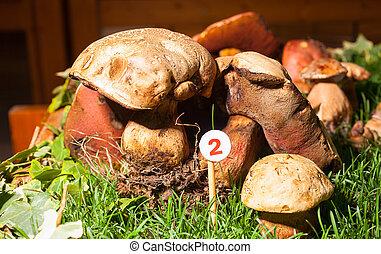 Mushroom Agaricus essettei - Close up of the mushroom...