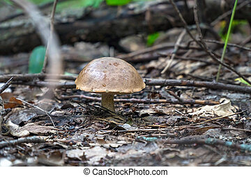 Mushroom boletus with a big hat in the forest