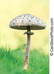 mushroom, closeup, macro