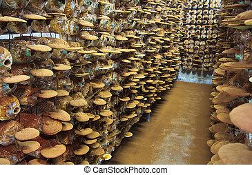 mushroom Ganoderma lucidum in the mushroom farm