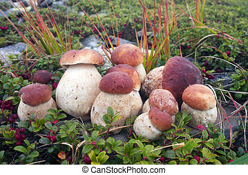 Mushroom harvest after rain in the Carpathians - Autumn in...