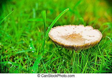 mushroom in the green frass lawn