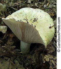 mushroom Lactarius resimus, milk mushroom, shallow dof