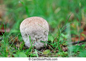 Mushroom Lycoperdon perlatum.