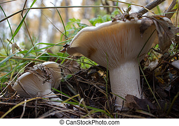 Mushrooms growing in the Autumn Forest