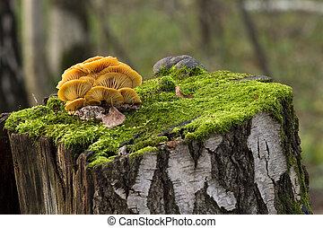 mushrooms, growing on a tree stump