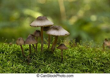 mushrooms, growing on moss