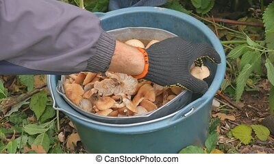 Mushrooms in the forest. Autumn, yellow leaf. A bucket of...