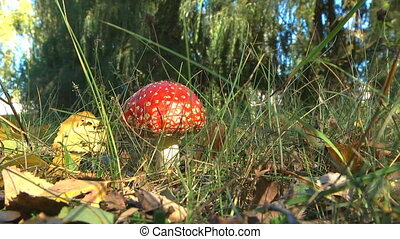 Mushrooms in the forest - Beautiful red mushroom amantia...