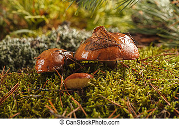 Mushrooms in the forest on a green background. Crop of autumn mushrooms in the moss.