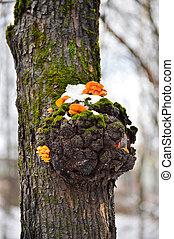 Mushrooms on a tree in winter