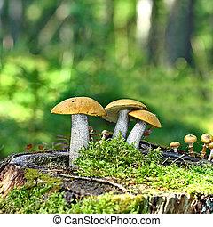 Mushrooms orange cap boletus on the moss