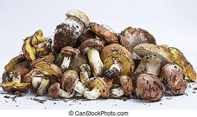 mushrooms Suillus luteus  and Boletus edulis