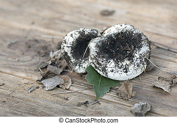 Mushrooms time, milk mushrooms Lactarius resimus on wooden table, close up