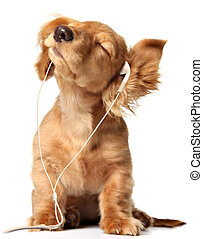 Musical puppy - Young puppy listening to music on a head...