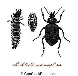 Musk beetle old print - Musk beetle metamorphosis from larva...