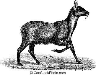 Musk deer, vintage engraving. - Musk deer, vintage engraved ...