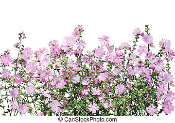 Musk-mallow Flower - Musk Mallow Malva moschata flower on...