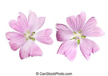 Pink Musk Mallow Malva moschata flower isolated on white