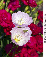 Musk Mallow Flowers - Two musk mallow (Malva moschata...