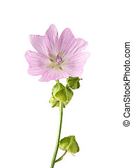 Musk mallow isolated on background