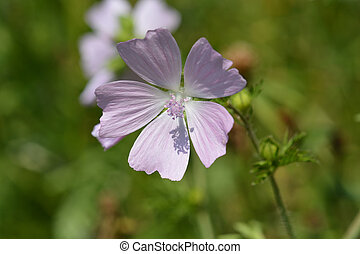 Musk mallow - Latin name - Malva moschata L.