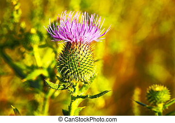 Musk or Nodding Thistle, Carduus nutans - Musk Thistle or...