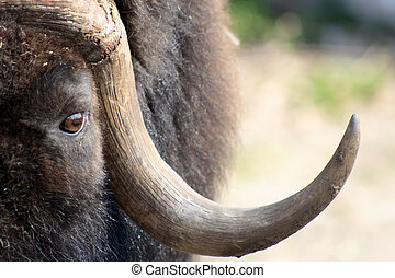 Musk Ox - Close-up of musk-ox muzzle