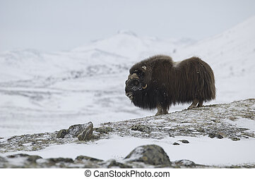 Musk-ox in Norge in Dovrefjell National Park
