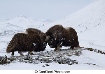 Musk-ox in Norge - Musk-ox pair in Norge in Dovrefjell...