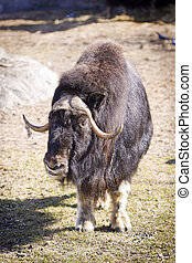 Musk Ox (Ovibos moschatus Blainv) in a Moscow Zoo
