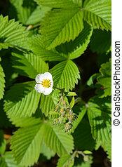 Musk strawberry flower - Latin name - Fragaria moschata