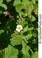 Musk strawberry - Latin name - Fragaria moschata