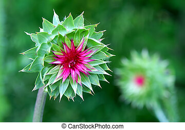 Musk Thistle (Carduus nutans) Wisconsin - Musk Thistle...