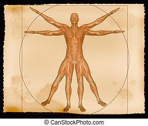 muskel, abbildung