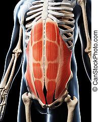 muskeln, abdominal