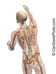muskeln, drehung, skelett, erreichen, -, halbdurchsichtig