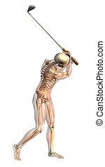 muskeln, golfen, skelett, -, schwingen, halbdurchsichtig
