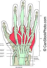musker, hand
