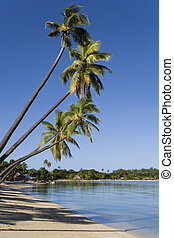 Musket Cove - Fiji - South Pacific - Leaning palm trees at...