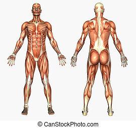 muskler, mandlig