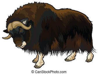 muskox,ovibos moschatus,animal of arctic,side view picture...