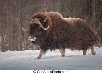 Muskox walking in the snow in winter