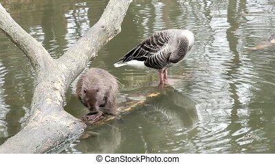 muskrat and duck sitting on a tree