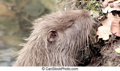 muskrat chewing on a branch